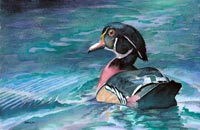 Androscoggin Wood Duck