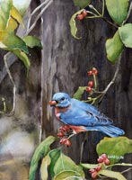 Bluebird, Red Berries
