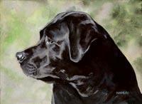 Black Labrador Retriever (Ollie)