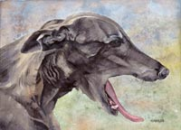 Greyhound Portrait (Sabel)